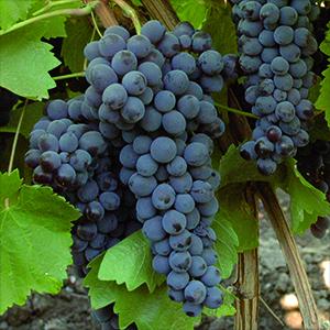 Nero d' Avola   Wine and Grape Guide   Italyabroad.com